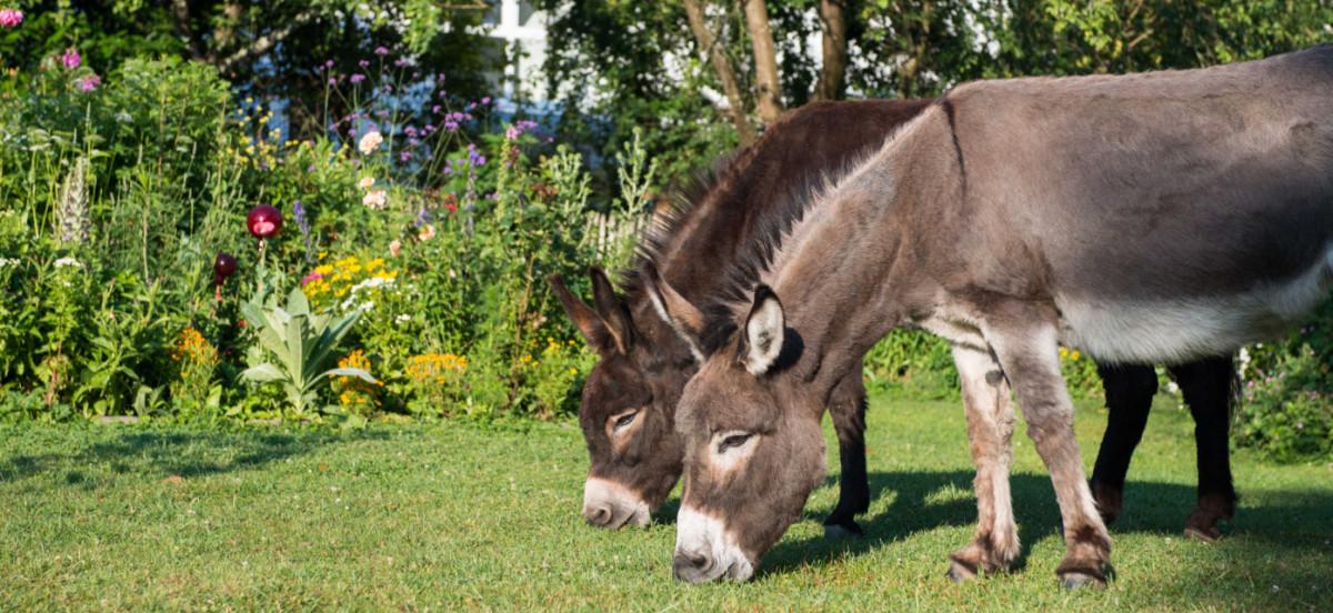 Heilpflanzen für Großtiere auf dem Fixenbauernhof im Schuttertal
