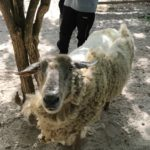 Schaf scheren