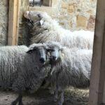 Schafe im Hofgut