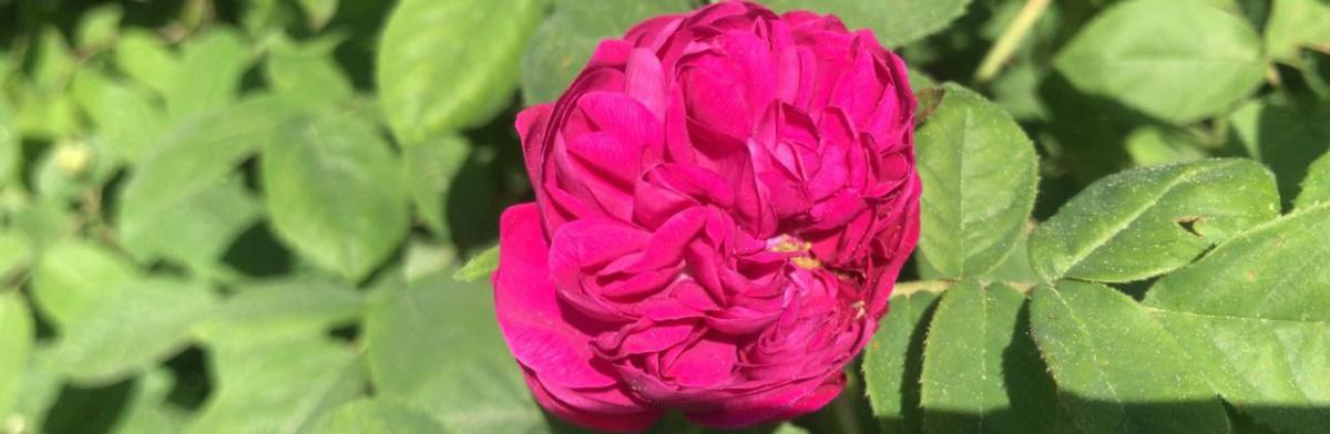 Heilpflanzen im Hofgut: Rosen-Rosendüfte-Rosenrezepte-Rosenkränze   – Hofgut Tellmann