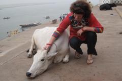 Heilige Kühe in Varanasi