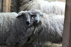 Schafe Paulinchen und Knopf