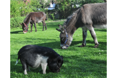 Socke und die Esel